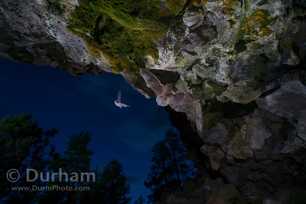 Bats flying into a cave in Central Oregon. © Michael Durham