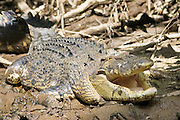 Crocodile in muddy shallows of the Mossman River, Daintree, Australia