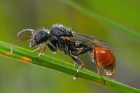 Pogonomyrmex badius - Florida harvester ant male.  Photographed at Lady Lake, FL. USA