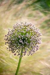 Allium seedhead in front of Stipa tenuissima