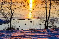 Norway, Stavanger. Mallard in sunset, Store Stokkavann.