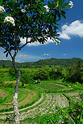 Typical rural scene of terraced rice paddies, framed by flowering Frangipani tree. Klungkung, Bali, Indonesia.