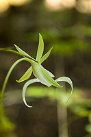 Unusual angle of a wild blooming ghost orchid (Dendrophylax lindenii) photographed from behind the flower on Florida's Fakahatchee Strand on a steamy hot summer morning.