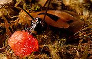 Deu, Deutschland: Totenkopfschabe (Blaberus spec.) frisst ein Stück Obst auf dem Boden | Deu, Germany: Death's head cockroach (Blaberus spec.) feeding on a piece of  fruit on ground vegetation |