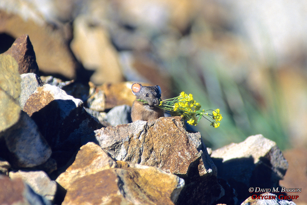 Pika Carrying Vegetation With Ear Tag