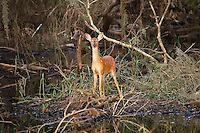 A very wary white-tailed deer next to the Myakka River in Sarasota County, Florida. The huge state park here offers them protection, so they are plentiful and often seen feeding along the river.