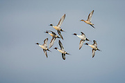 Pintail ducks in flight in Montana