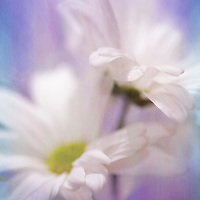 Iris and Daisy flower merged together with texture added to picture.