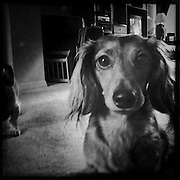 Displaying the curiousity that marks the breed, a long haired dachshund checks out the camera.