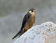 Eleonora's Falcon, Pale Phase - Falco eleonorae