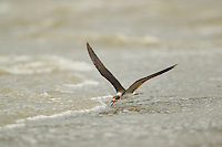 A Black Skimmer (Rynchops niger) feeding at the water's edge of the Orinoco River Delta, Venezuela.