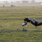 Grey Crowned Crane (Balearica regulorum) Amboseli National Park. Kenya. Africa.