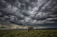 Bull elephant in solitude while storms gather momentum over the vast and iconic Maasai Mara.