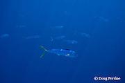 dorado, mahi-mahi, mahimahi, mahi mahi, or dolphin fish, Coryphaena hippurus, juvenile schoolies swimming near a floating log, off South Kona, Hawaii Island ( the Big Island ), U.S.A. ( Central Pacific Ocean )