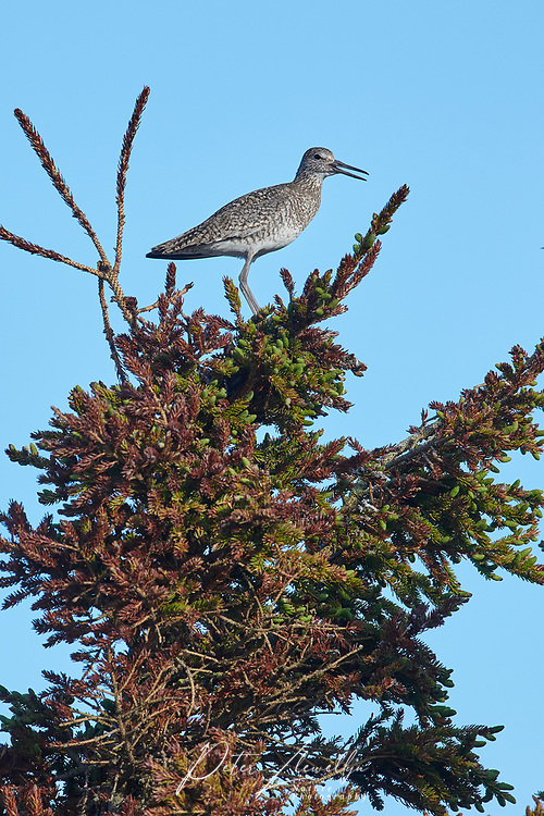 Willet (catoptrophorus semipalmatus) perched at the top of a fir tree, Cherry Hill Beach, Nova Scotia, Canada,