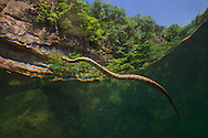 Midland Watersnake<br /> <br /> Isaac Szabo/Engbretson Underwater Photography