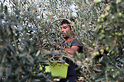 Castelvetrano (Trapani), 06.11.12. Recolección de aceitunas del tipo Nocellara del Belice.<br /> Foto: Víctor Sokolowicz