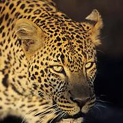 Leopard adult in Kenya, Africa.