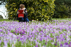 © Licensed to London News Pictures. 18/02/2016. Leeds, UK. A boy takes a photograph of the colourful crocuses in bloom at Roundhay Park in Leeds, West Yorkshire. Forecasters are predicting temperatures to drop below zero this week as snow and ice are set to batter Britain. Photo credit : Ian Hinchliffe/LNP