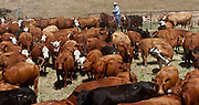 Snelling, California May 7, 2007.Erickson Cattle Company Prey Ranch: Getting Cattle ready for 2007 spring cattle drive.. Photo by AL GOLUB/Golub Photography