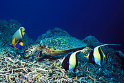 foraging hawksbill sea turtle, Eretmochelys imbricata, is attended by yellowmask angelfish, Pomacanthus xanthometepon, and moorish idols, Zanclus cornutus, which feed on items disloged by the turtle, Sipidan Island, Malaysia  ( Celebes Sea )