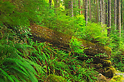 vegetation growing on 'nurse log' in  old growth coastal temperate rain forest <br /> Carmanah-Walbran Provincial Park<br /> British Columbia<br /> Canada