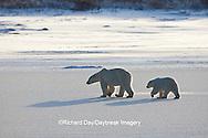 01874-12303 Polar Bear (Ursus maritimus) mother and cub near Hudson Bay  in Churchill Wildlife Management Area, Churchill, MB Canada