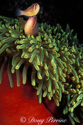 pink anemonefish or white-maned anemonefish, Amphiprion perideraion, in giant sea anemone, Heteractis magnifica, Witu Islands, Papua New Guinea ( Bismarck Sea )