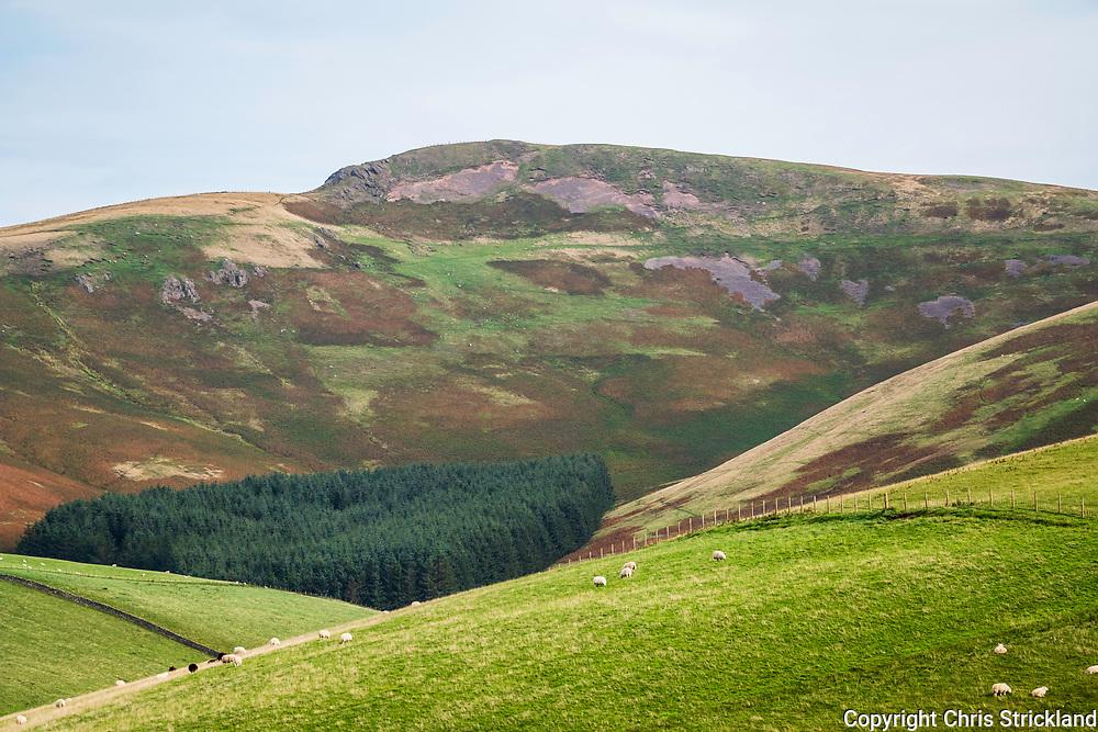 Hindhope, Jedburgh, Scottish Borders, UK. 20th September 2018. Sheep graze on the Scottish side of the Cheviot Hills near the Anglo Scottish Border.