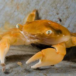 Crabs, Crayfish, Shrimps & Barnacles (Crustacea)