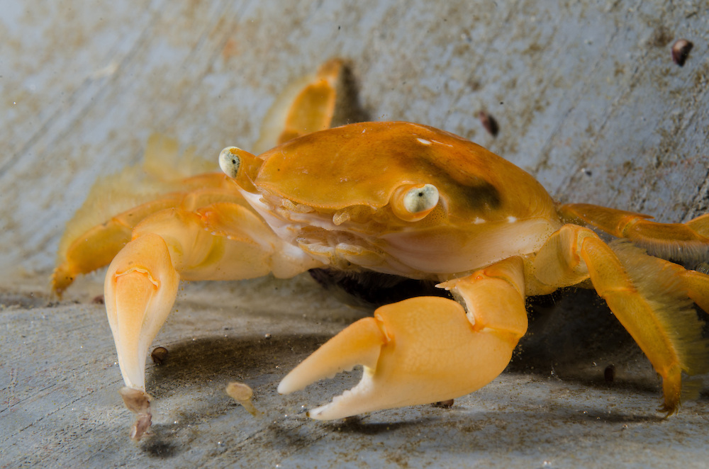 Pelagic Crab, Planes major.