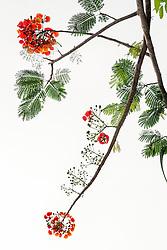 Royal Poinciana Tree Delonix Regia #32