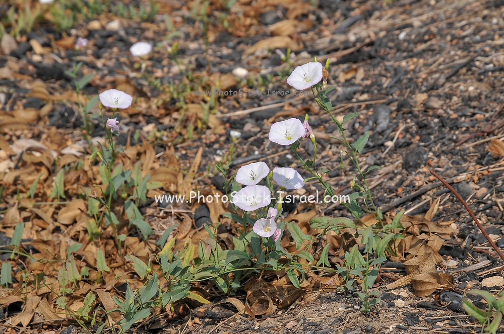 Convolvulus arvensis (field bindweed) is a species of bindweed in the morning glory family (Convolvulaceae), native to Europe and Asia. It is a climbing or creeping plant. Photographed in Israel Northern Negev, In July