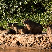 Capybara family on the Cuiaba river, Pantanal, Brazil.