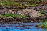 Nile crocodile on the banks of the Kazinga Channel, Queen Elizabeth National Park, Uganda.