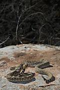 Two western diamondback rattlesnake sunning on a rock in the west Texas desert.