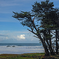 Cypress trees grow beside Pacific Ocean surf in Fort Bragg, California.