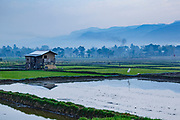 Rice paddy fields beside Lake Inle, Taungyi, Myanmar / Burma. Home to the Intha people. Rice is one of the most important crops for the country and the country is sometime know as the 'rice bowl' of Asia given it's importance - although the many years of military rule have hampered productivity improvements.