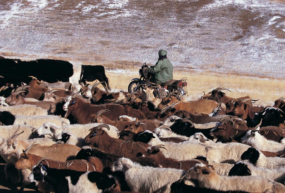 Herding livestock<br /> Khustain Nuruu National Park<br /> Mongolia