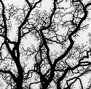 Oak tree branches in winter, Briones Regional Park, Contra Costa County, California