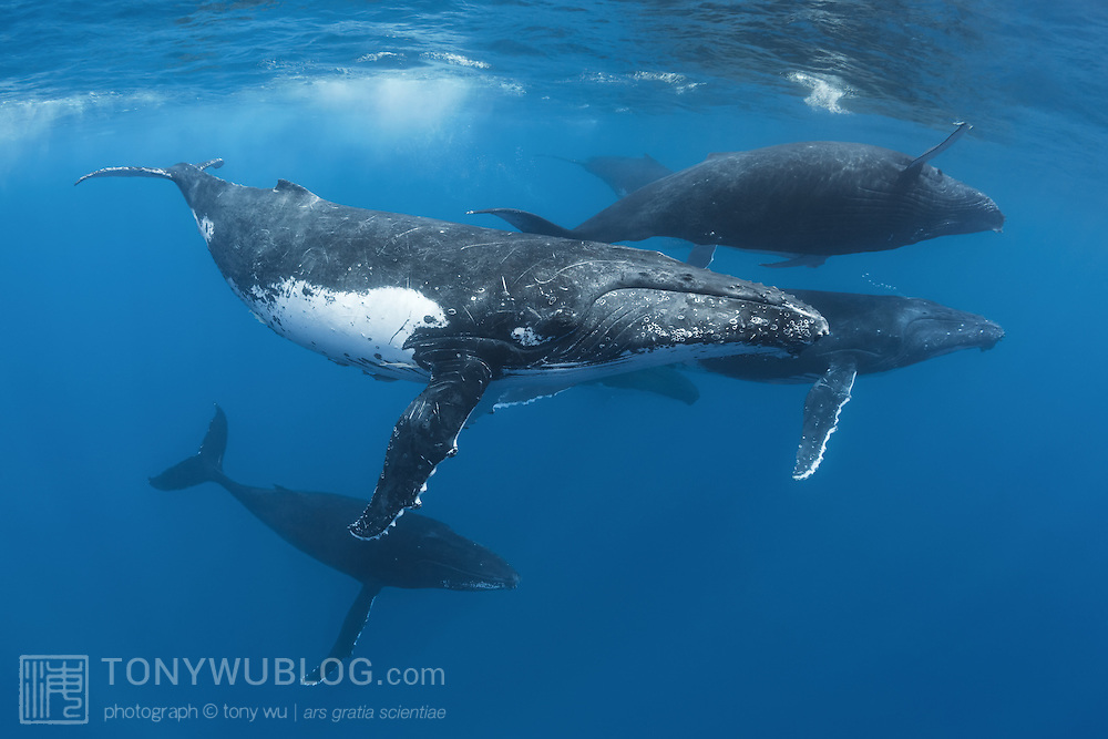 A competitive heat run comprising seven humpback whales (Megaptera novaeangliae), with six males vying for the favor of a female whale, the dark individual visible behind the foremost whale. Photographed in Vava'u, Kingdom of Tonga.