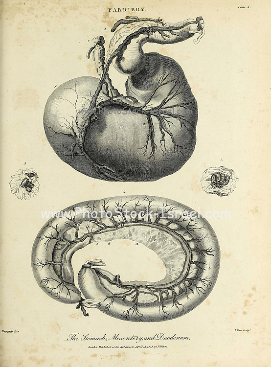 Horse's Stomach, Mesentery and Duodenum Copperplate engraving From the Encyclopaedia Londinensis or, Universal dictionary of arts, sciences, and literature; Volume VII;  Edited by Wilkes, John. Published in London in 1810