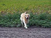 Golden Retriever Lemmy in einem Kartoffelfeld. Der Golden Retriever ist ein intelligenter, freudig arbeitender Hund, dem auch extreme, nasskalte Witterungsbedingungen nichts ausmachen. Dem steht allerdings eine relativ starke Empfindlichkeit hinsichtlich hoher Temperaturen gegenüber. Grundsätzlich ist die Rasse ruhig, geduldig, aufmerksam und niemals aggressiv.<br /> <br /> Golden Retriever Lemmy during a walk in a potatoe field.