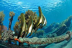 Platax teira, Langflossen Fledermausfische, longfin batfishes, japanisches Schiffswrack Schiffwrack, Japanese shipwreck, Bali, Indonesien, Indopazifik, Indonesia Asien, Indo-Pacific Ocean, Asia