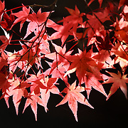 Red momiji Japanese maple leaves in the warm morning sunlight of autumn. Photographed at Kita no Tenman-gu in Kyoto.