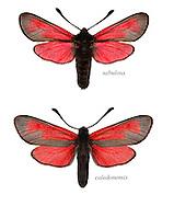 Transparent Burnet - Zygaena purpuralis<br /> top = ssp. sabulosa<br /> bottom = ssp. caledonensis<br /> 54.004 BF172