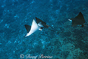 courtship of spotted eagle rays, Aetobatus narinari, male bites female on back and attempts to mate with her, at Ice Cream bommie, Saipan, Commonwealth of Northern Mariana Islands, Micronesia, Pacific Ocean