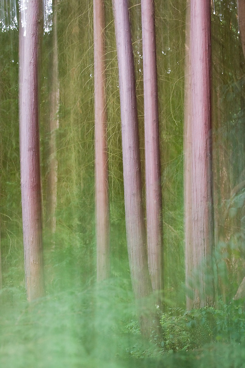 A slow-shutter vertical pan of pine trees growing in the Washington Park Arboretum in Seattle, Washington. The city park, a living museum home to over 20,000 plant species from around the world, celebrates its 75th anniversary this year.