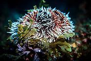Tripneustes gratilla (pied urchin or white-spined urchin)