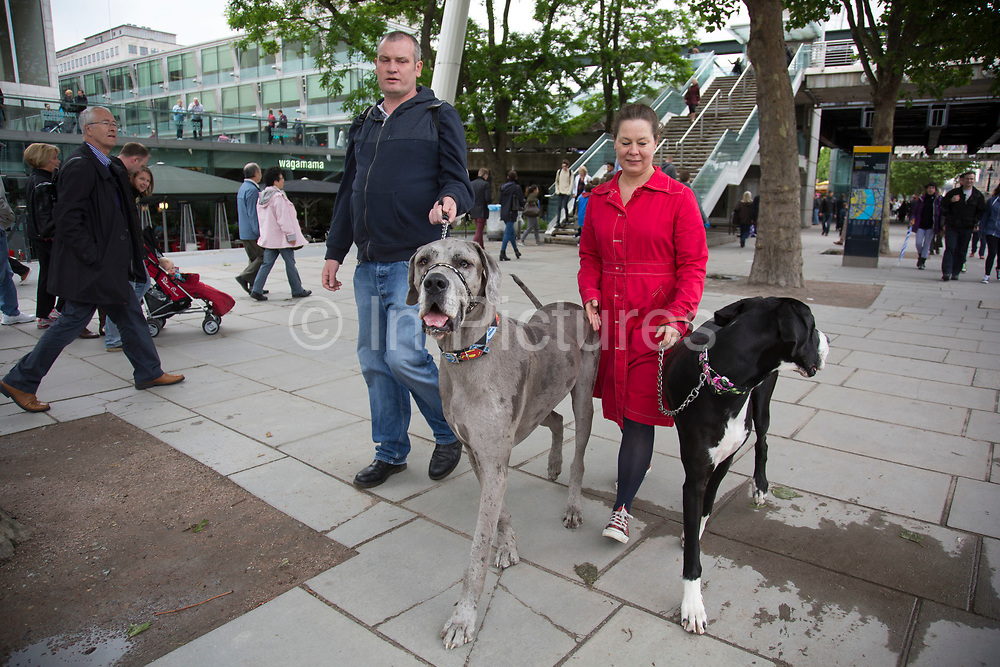 Couple walking their two Great Dane dogs along the riverside walkway. Large pet owners Owen and Hanne, walk their two super scale dogs Sid (grey, 2 years old) and Talulah (black, 3 years old) creating a great distraction. The South Bank is a significant arts and entertainment district, and home to an endless list of activities for Londoners, visitors and tourists alike.